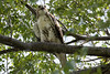 DSC_6546 juvenile redtail hawk (dllarson2009) Tags: kansas bakerwetlands