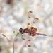 Calico Pennant Dragonfly (Celithemis elisa