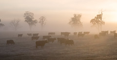 Grazing Sunrise (Keith Midson) Tags: cows cow bovine grazing pasture agriculture tasmania australia trees fog mist early morning sunrise cold winter farm farming