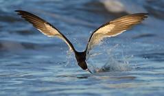 Black Skimmer Fishing Strike (Mark Schwall) Tags: nikkor200500f56vrafs flight bif birdinflight nj newjersey nikon d500 markschwallphotographycom bird wildlife blackskimmer rynchopsniger