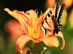 eastern tiger swallowtail male nectaring on day lily at Seed Savers Exchange IA 854A4737 (lreis_naturalist) Tags: eastern tiger swallowtail male butterfly day lily blooming seed savers exchange winneshiek county iowa larry reis