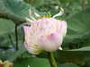 Nelumbo nucifera 'Red Lips' Thailand 011 (Klong15 Waterlily) Tags: redlips redlipslotus nelumbo nelumbonucifera lotus thailotus thailandnelumbo chineselotus