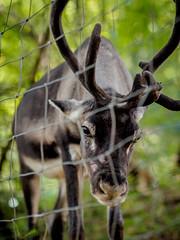 Fighting against the fences... (davYd&s4rah) Tags: reindeer rentier animal fence tierpark lookinthecam lohberg olympus em10markii m75mm f18 bokeh green brown grün braun perspective fokus focus interested olympusm75mmf18