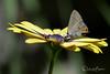 Gray Hairstreak. (Explored) (dbifulco) Tags: explored nature africandaisy butterfly flowers garden grayhairstreak insect newjersey wildlife
