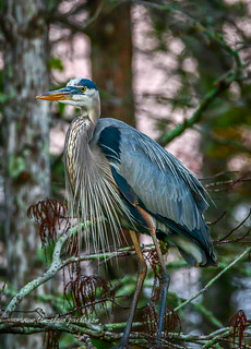 Heron Perched in Tree #5