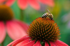Beeing in the Garden (The Good Brat) Tags: colorado us bee garden coneflower flower bloom colorful blossom echinacea plant cone closeup pollen