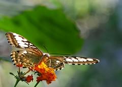 sognando... (andrea.zanaboni) Tags: farfalla butterfly fiori flowers nikon macro volo sogni dream magicmoments ngc nikonflickrtrophy