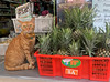 Pinapple Cat (cowyeow) Tags: thailand thaifood shop china chinese asia asian city kowloon kowlooncity hongkong 香港 fruit fruitshop market fruitstand street travel cat pineapple cute pet