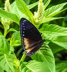 (tanreineer) Tags: butterflies nikonp900 wingscolor color fly antenna beautiful alive