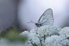Gazé au petit matin ... (catgbl) Tags: aporia crataegi gazé papillon aporiacrataegi nature fleur 040720172b2a4306