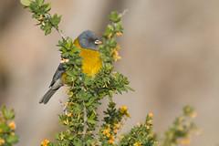 Cometocino (ik_kil) Tags: cometocinodegay comeseboandino greyhoodedsierrafinch phrygilusgayi vallenevado regiónmetropolitana avesdechile birds chile
