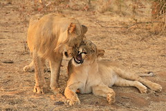 Lion and Lioness in the Wild Zimbabwe Africa (eriagn) Tags: lion lioness zimbabwe hwange ngairehart ngairelawson eriagn wildlife africanwildlife africanlion travel traveller adventure safari victoriafalls zambia zambezi animal carnivore bigcat feline bigfive savanna