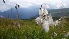 Cottongrass (Daphne-8) Tags: eriophorum cottongrass cottonsedge alpenwollgras eriophorumscheuchzeri scheuchzerswollgras switzerland mountains alpes alpen bergen montanas alpi