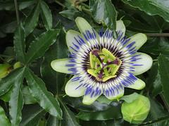 Abcoude (~Ingeborg~) Tags: meinge abcoude passiebloem passionflower beauty schoonheid shecrossedme zekruisteme closeup duringawalk passifloracaerulea wonderful wonderschoon luckyme holland thenetherlands