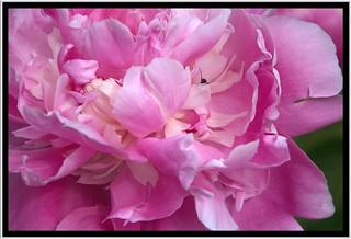 Stratford Ontario ~ Canada ~  Flower ~ Shakespearean  Garden Botanical  ~ Heritage ~ Ant climbing out of a Penoy