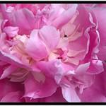 Stratford Ontario ~ Canada ~  Flower ~ Shakespearean  Garden Botanical  ~ Heritage ~ Ant climbing out of a Penoy thumbnail