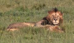 """Yes, I Am King"" (The Spirit of the World) Tags: malelion lion cat bigcat feline grasses masaimara themara kenya safari gamedrive nationalpark gamereserve africa eastafrica"