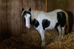 Gabriel II (meniscuslens) Tags: pony gabriel stable straw skewbald blue eyes horse trust charity buckinghamshire rescue
