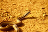 Pequeña amiga (kris.78) Tags: serpiente culebra snake
