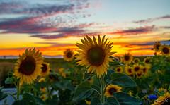 Sun flower sunset (Back to flickr) 河邊的向日葵 (T.ye) Tags: sunset sun flowers sky plant orange landscape flower sunflower outdoor river bank deck