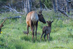 IMG_6342 cow elk and calf (starc283) Tags: elk cowelk elkcalf starc283 canon canon7d colorado flickr flicker nature naturesfinest outdoors outdoor wildlife