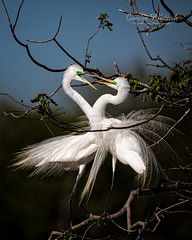 White Egrets Courting 1