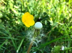 (Cheeseisboss) Tags: backyard summertime nature dandelions flower