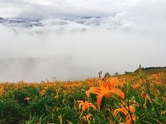 #金針花 #六十石山 #富里 #花蓮 #台灣 #daylily  #fuli #hualien #taiwan (Mg Lin) Tags:
