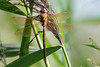 Brown Hawker Upton NWT Norfolk (JohnMannPhoto) Tags: hawker upton nwt norfolk brown dragonfly