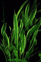 _MG_1887.CR2 (jalexartis) Tags: sansevieriatrifasciata motherinlaw'stongue citronella afterdark dark nightphotography night nightshots camranger lighting gardening cedarfarms