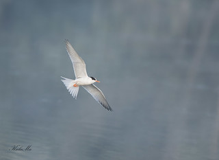 Common-Tern-1994
