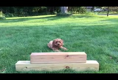 Slo-mo Sicily (tquist24) Tags: cavapoo goshen indiana sicily cute dog ears grass iphone7 jump jumping puppy yard