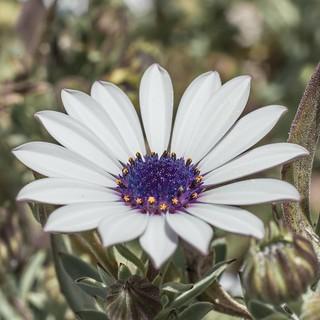 White Daisy Flower - Osteospermum species - Barton - ACT - Australia - 20170918 @ 14:32
