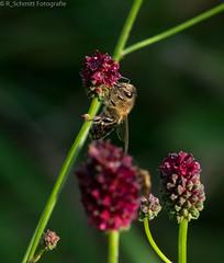 Smile on Saturday #Biene/bee (ramonaschmitt) Tags: outdoor nikond3300 nikon biene bee fell augen eyes braun gelb schwarz black yellow brown lila tamron90mm bokeh smileonsaturday bizarrebugs