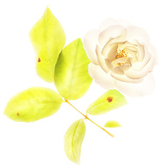 white rose and green leaves (jgokoepke) Tags: white rose green leaves flowers hdr mhdr