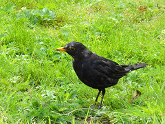 27vii2017 Stokesay 55 (garethedwards36) Tags: bird blackbird lumix wildlife nature uk shropshire stokesay