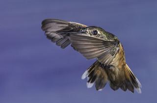 Allen's Hummingbird In Stealth Mode