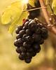 In the vines (4) (FocusPocus Photography) Tags: weintrauben trauben grapes rebstock weinstock vine obst fruit
