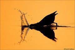 Green Heron Hunting (Daniel Cadieux) Tags: heron greenheron hunt hunter silhouette reflection splash orange mirror ottawa