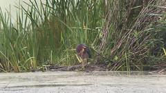 20170813 Green Heron (plumheadedfinch) Tags: birds pelecaniformes ardeidae butorides butoridesvirescens greenheron pennsylvania month08august 2017