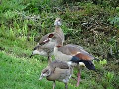 Alopochen aegyptiaca - Egyptian goose - Nilgans (Mc Steff) Tags: alopochen aegyptiaca egyptian goose nilgans küken ckicks neckar neckarfahrt 2017 gans gänse nil geese nile