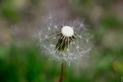 Summer (MyKerttu) Tags: summer dandelion seeds macro