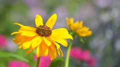Summer! (paulapics2) Tags: plant nature outdoor bokeh depthoffield rudbeckia yellow summer bright pink petals fleur flora floral blümen hydehallgardens rhshydehall canoneos5dmarkiii sigma105mmf28exdgoshsmmacro july