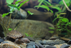 IMG_9807 (Laurent Lebois ©) Tags: laurentlebois france reptile rettile reptil рептилия tortue turtle tortoise tortuga tartaruga schildkröte черепаха chelonia sternotherus minor terrariophilie razorbackmuskturtle cinosterne