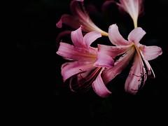 夏水仙 (Polotaro) Tags: mzuikodigital45mmf18 flower nature olympus epm2 pen 花 自然 オリンパス ペン ナツズイセン 8月 庭 garden