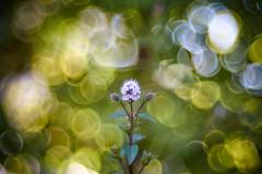Jubilating (matt.kueh) Tags: flower plant blume pflanze bokeh bokehlicious soapbubblebokeh vintagelens manualfocus m42 depthoffield meyeroptikgoerlitztrioplan100mmf28