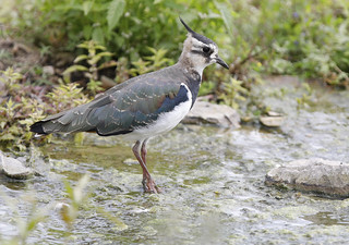 LAPWING....Non Breeding....More detail on large