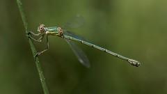 Snooty (Presumida) (jrosvic) Tags: chalcolestesviridis lestidae dragonfly odonata nikond7100 nikon60mm28dmicro sierrademariola nacimientodelriovinalopó alicante spain freehand macro portrait micro entomology kenkopro300x14 zygoptera