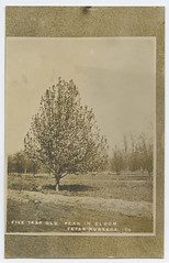 Five Year Old Pear in Bloom (SMU Central University Libraries) Tags: fruittrees floweringtrees texasnurserycompany