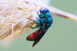 Resting Cuckoo Wasp (Holopyga sp.? Hedychrum sp.?)